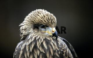 Schwarzmilan, Milvus migrans