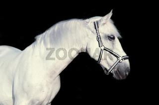 portrait of Lipizzaner horse  at black background