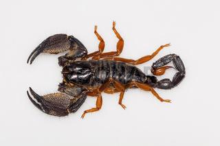 A large burrowing scorpion of the genus Heterometrus from Kanger Ghati National Park, Bastar District, Chhattisgarh