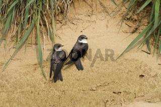 Paarbindung... Uferschwalbe *Riparia riparia*