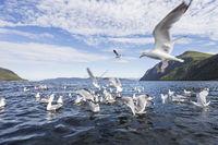 Silbermöwen im Fjord