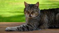 Sphinx, Katze