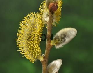 Salweide; Salix caprea; goat willow; pussy willow;