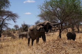 Safari Tarangire Nationalpark Tansania, Elefanten
