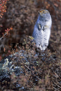 Arktischer Ziesel zieht sich im Herbst in den Bau zurueck und haelt Winterschlaf