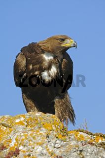 Steinadler, Aquila chrysaetos, Golden Eagle
