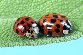 Asiatischer Marienkaefer, Harmonia axyridis, Asian Lady Beetle