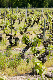 vineyard, Loire Valley, France
