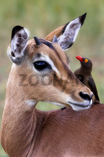 Impala mit Madenhacker in Suedafrika