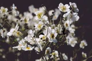 Weiße Herbst-Anemone (Anemone hupehensis)