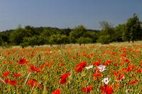 Mohnblumen im Getreidefeld 15