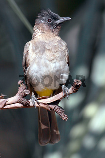 Graubülbül, Black-eyed Bulbul