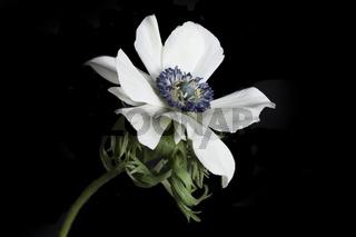 Gartenanemone (Anemone Coronaria) auf schwarzem Hintergrund