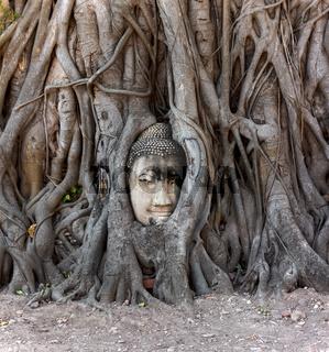 Buddha head in banyan tree, Thailand