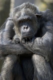 Schimpanse, Pan troglodytes, Common Chimapnzee