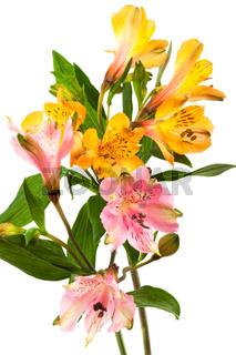orange and pink alstroemeria