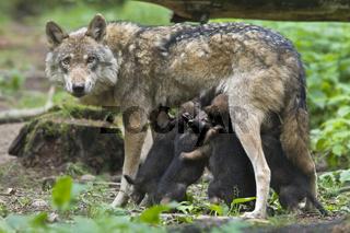 Europaeischer Wolf (Canis lupus lupus), Woelfin mit Welpen, European wolf (Canis lupus lupus) with pup, puppy