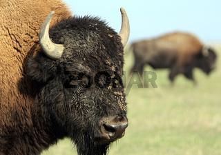 Close-up buffalo 1