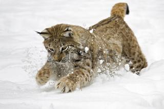Europaeischer Luchs (Lynx lynx) im tiefen Schnee, Bayern, Deutschland, European lynx in deep snow, Bavaria, Germany