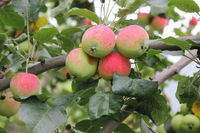 Red ripe apples on branch 20524