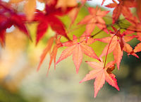 Red and yellow tree leaves on a tree in autumn background