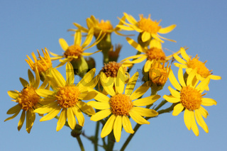 Blüten des Jakobs-Greiskrauts