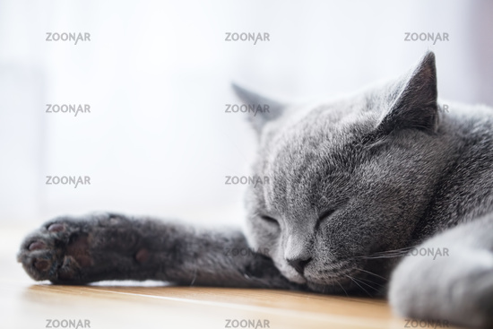 Young cute cat sleeping on wooden floor. The British Shorthair