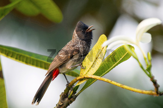 Red vented Bulbul, Pycnonotus cafer, India