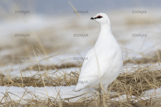 Rock Ptarmigan male standing in the snow among the dry grass on a sunny day