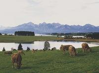 Viehweide am Forggensee