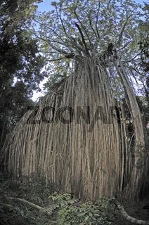 extrem gewachsene Würgefeige, Ficus macrophylla destruens, 'Curtain Fig Tree', Atherton Table Lands, Queensland, Australien