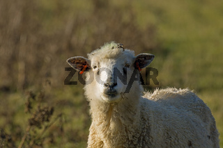 Sheep looking at camera on Pevensey Levels