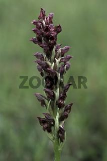 Wanzen-Knabenkraut (Orchis coriophora)