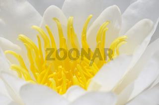 Weiße Seerose European White Waterlily