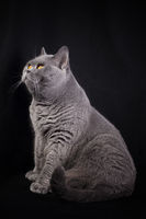 Gray shorthair British cat sitting on a black background
