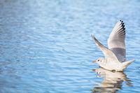 Eine Möwe landet mit ausgebreiteten Flügeln auf einem See