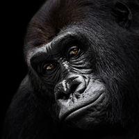 Western Lowland Gorilla VI