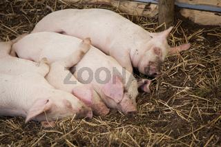 Four piglets sleeping