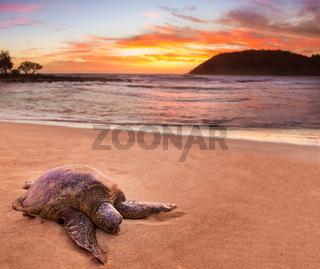 Sea Turtle at Moloa'a Beach, Kauai, Hawaii