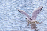 Eine Möwe landet mit ausgebreiteten Flügeln auf einem Gewässer