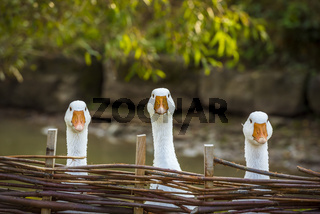 Three funny white geese