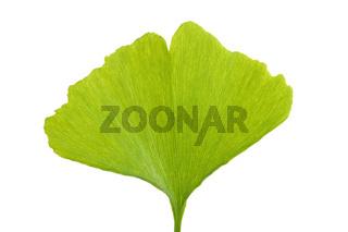 Blatt des Ginkgo oder Ginko Baumes , Ginkgo biloba