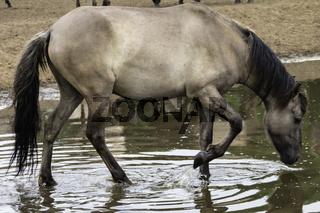 Durstig, wild lebende Pferde im Merfelder Bruch, Dülmen, Nordrhein-Westfalen, Juni,