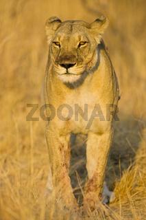 Loewin (Panthera leo), Nxai Pan, Makgadikgadi Pans National Park, Botswana, Afrika, Lioness, Africa
