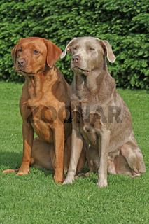 brauner und grauer Labrador