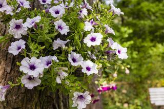 Petunien im Garten, petunia in a garden