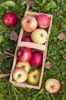 Gesunde frische Bio Äpfel in einem Holzkorb