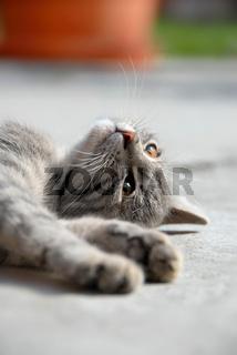 Lying gray cat
