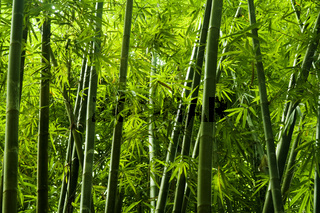Asian bamboo tree