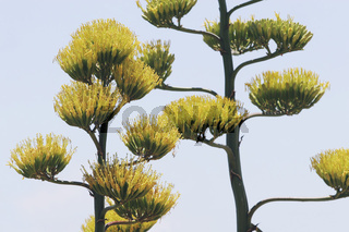 Agavenblueten im Sommer, flowering agave in the summer.